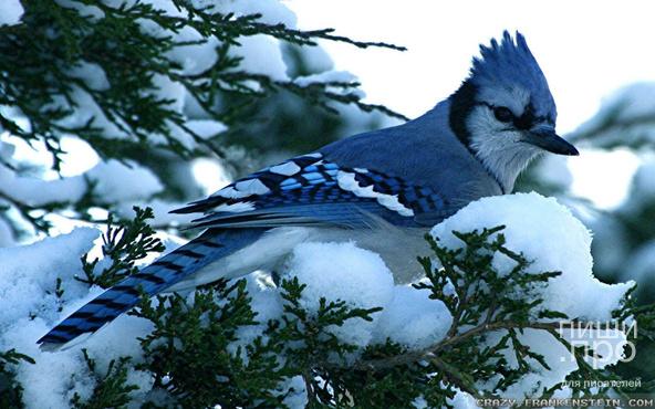 """Фотоконкурс """"Птицы зимой"""""""